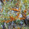 Sea Buckthorn Oil-carrier Oil-30mls-Emoillent(Hippophae Rhamnoides)